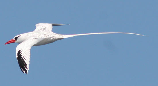Image result for tropicbird